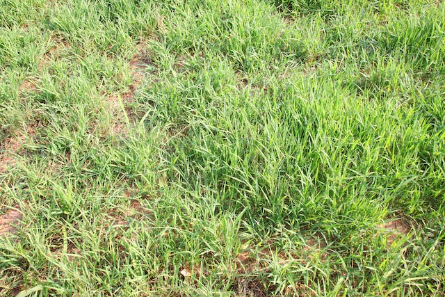 Pangola Grass Poisoning in Horses - Symptoms, Causes, Diagnosis, Treatment, Recovery, Management, Cost