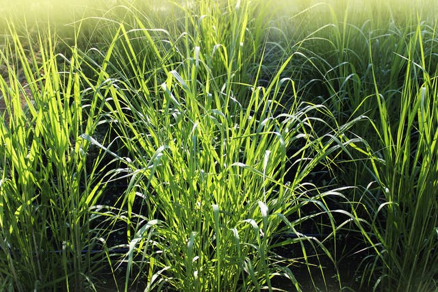 Panicum Coloratum Poisoning in Horses - Symptoms, Causes, Diagnosis, Treatment, Recovery, Management, Cost