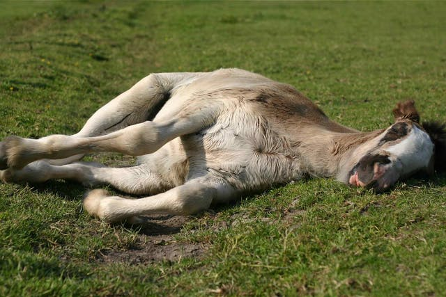 Parascaris in Horses - Symptoms, Causes, Diagnosis, Treatment, Recovery, Management, Cost