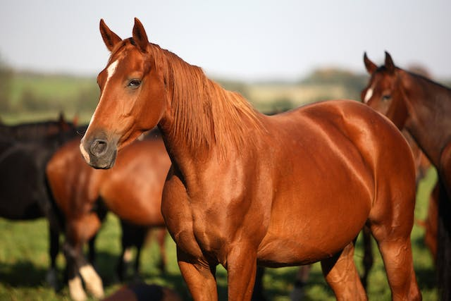 Parasitic Worms of the Skin in Horses - Symptoms, Causes, Diagnosis, Treatment, Recovery, Management, Cost