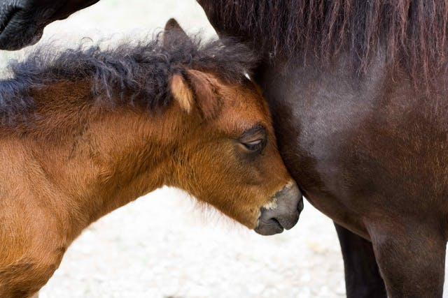 Parturition in Horses - Symptoms, Causes, Diagnosis, Treatment, Recovery, Management, Cost