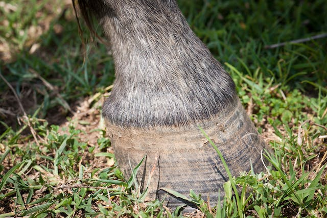 Patellar Luxation in Horses - Symptoms, Causes, Diagnosis, Treatment, Recovery, Management, Cost