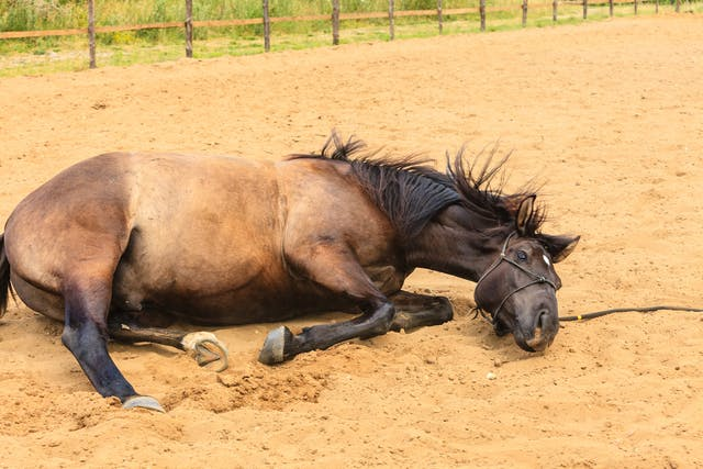 Pawing in Horses - Symptoms, Causes, Diagnosis, Treatment, Recovery, Management, Cost