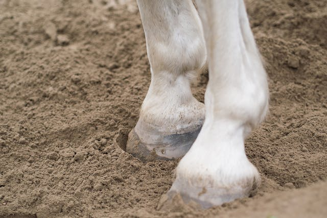 Pedal Osteitis in Horses - Symptoms, Causes, Diagnosis, Treatment, Recovery, Management, Cost