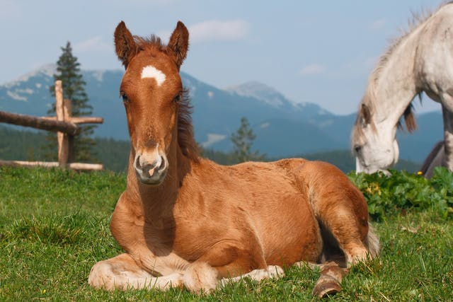 Pentosan Allergy in Horses - Symptoms, Causes, Diagnosis, Treatment, Recovery, Management, Cost