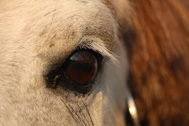 Periodic Ophthalmia in Horses - Symptoms, Causes, Diagnosis, Treatment, Recovery, Management, Cost