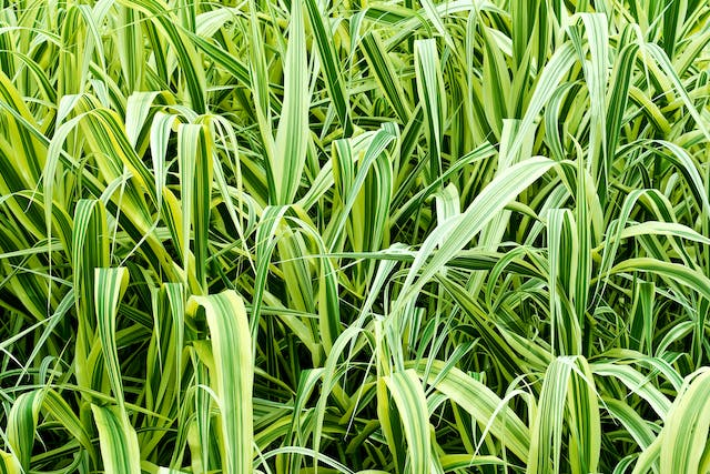 Phalaris Poisoning in Horses - Symptoms, Causes, Diagnosis, Treatment, Recovery, Management, Cost