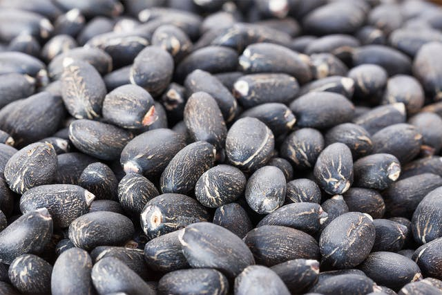 Physic Nut Poisoning in Horses - Symptoms, Causes, Diagnosis, Treatment, Recovery, Management, Cost