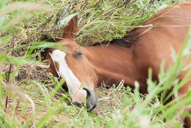 Pleuropneumonia in Horses - Symptoms, Causes, Diagnosis, Treatment, Recovery, Management, Cost