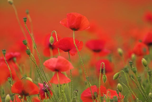 Poppy Poisoning in Horses - Symptoms, Causes, Diagnosis, Treatment, Recovery, Management, Cost