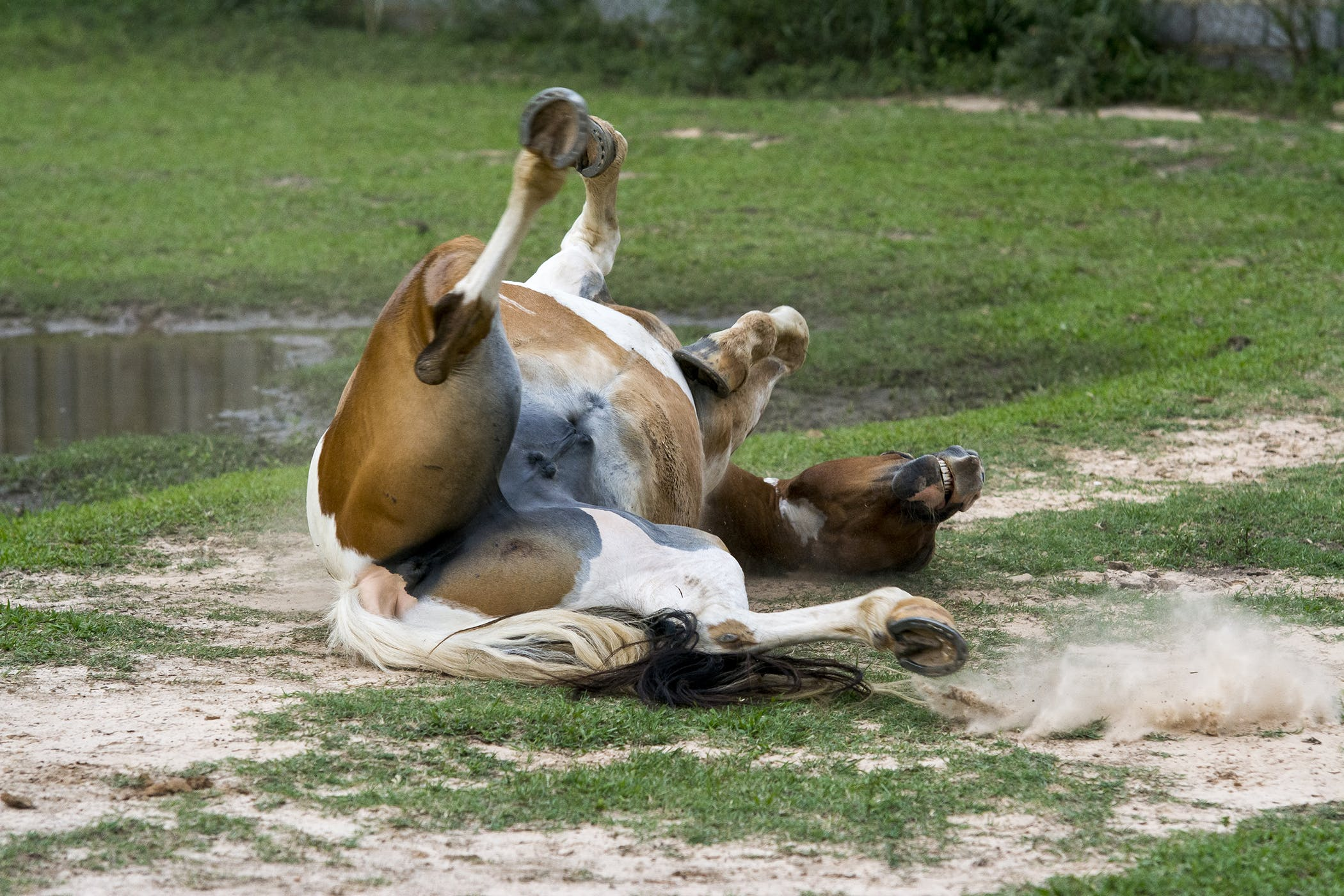 Potomac Horse Fever in Horses - Symptoms, Causes, Diagnosis