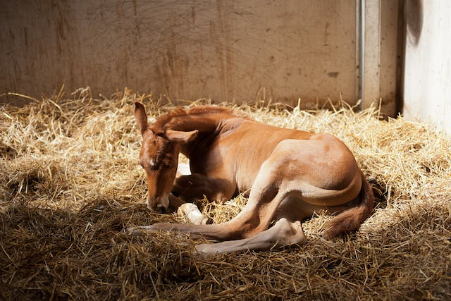 Premature Foal in Horses - Symptoms, Causes, Diagnosis, Treatment, Recovery, Management, Cost