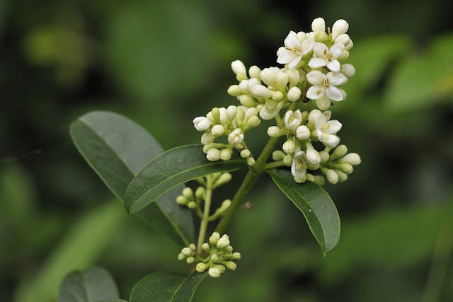 Privet Poisoning in Horses - Symptoms, Causes, Diagnosis, Treatment, Recovery, Management, Cost