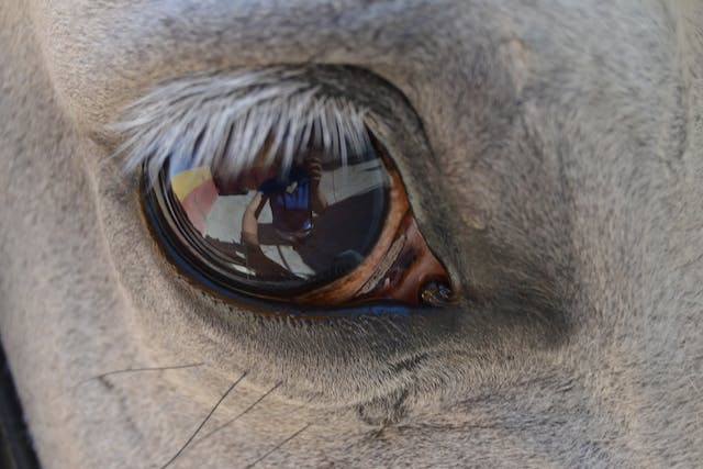 Prolapse of the Eye in Horses - Symptoms, Causes, Diagnosis, Treatment, Recovery, Management, Cost