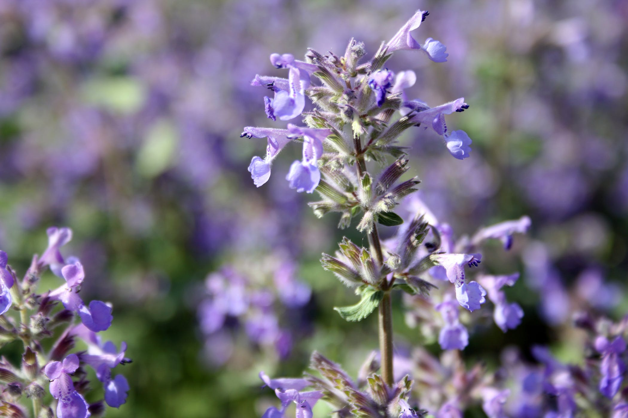 Purple Mint Poisoning In Horses Symptoms Causes