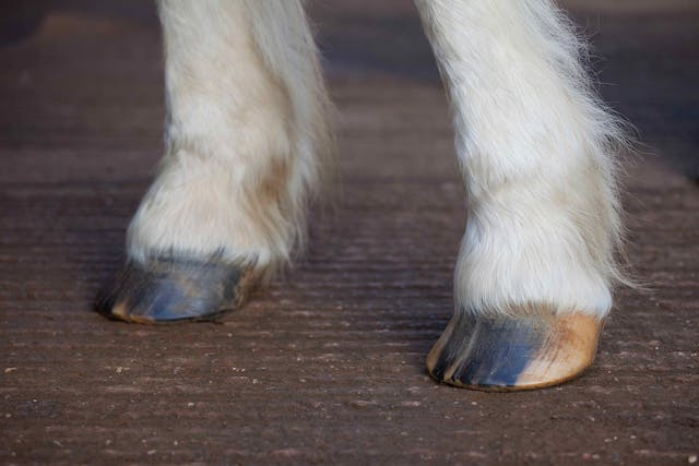 Quarter Crack in Horses - Symptoms, Causes, Diagnosis, Treatment, Recovery, Management, Cost
