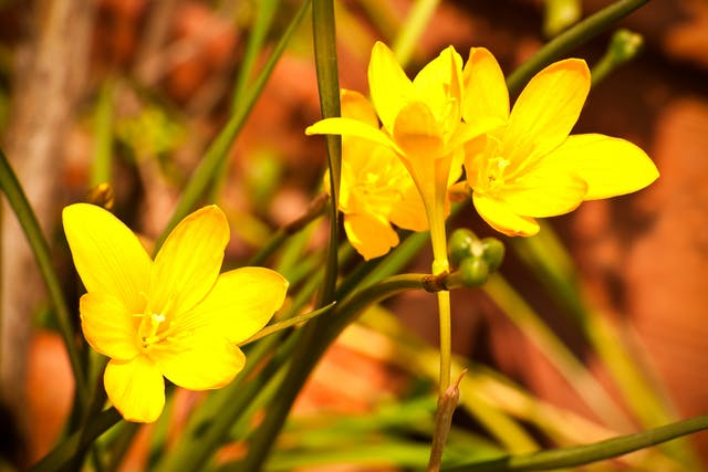 Rain Lilies Poisoning in Horses - Symptoms, Causes, Diagnosis, Treatment, Recovery, Management, Cost