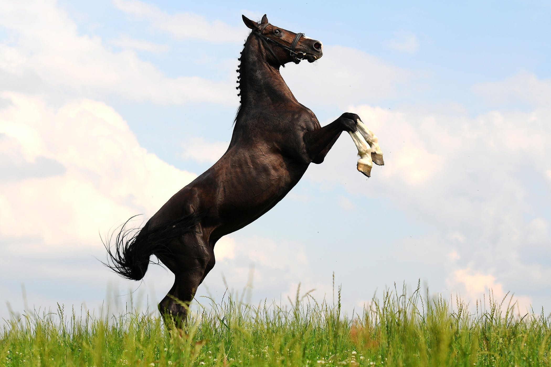 Rearing in Horses - Symptoms, Causes, Diagnosis, Treatment, Recovery