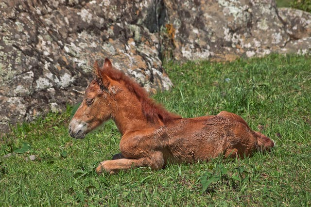 Recurrent Airway Obstruction (Heaves) in Horses - Symptoms, Causes, Diagnosis, Treatment, Recovery, Management, Cost