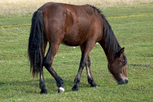 Recurrent Colic in Horses - Symptoms, Causes, Diagnosis, Treatment, Recovery, Management, Cost