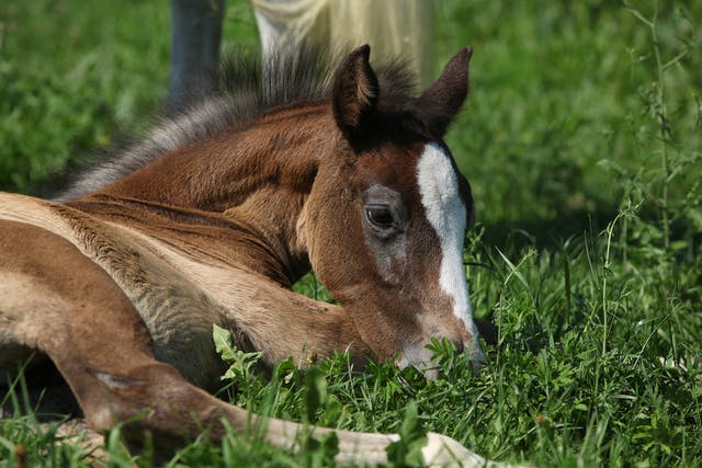 Recurrent Diarrhea in Horses - Symptoms, Causes, Diagnosis, Treatment, Recovery, Management, Cost