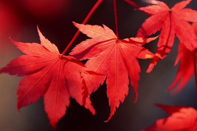 Red Maple Poisoning in Horses - Symptoms, Causes, Diagnosis, Treatment, Recovery, Management, Cost