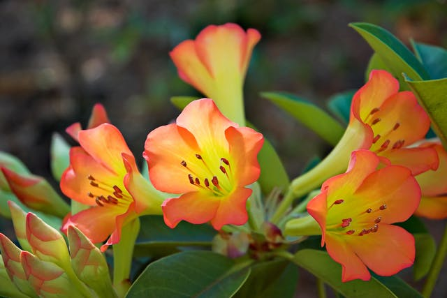 Rhododendron Poisoning in Horses - Symptoms, Causes, Diagnosis, Treatment, Recovery, Management, Cost