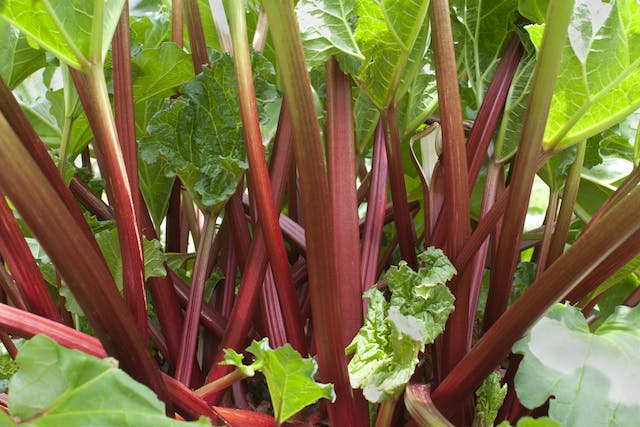 Rhubarb Poisoning in Horses - Symptoms, Causes, Diagnosis, Treatment, Recovery, Management, Cost