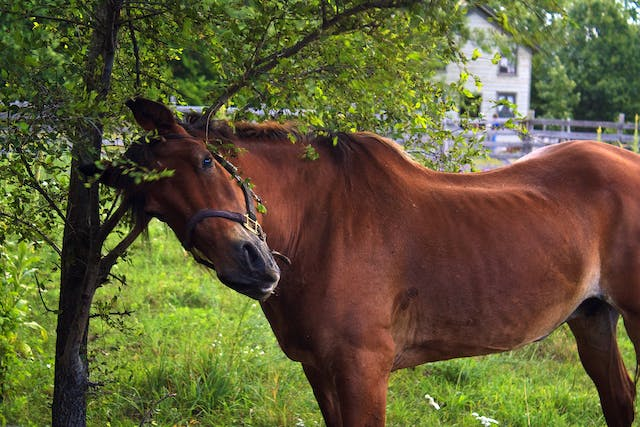 Ringworm in Horses - Symptoms, Causes, Diagnosis, Treatment, Recovery, Management, Cost