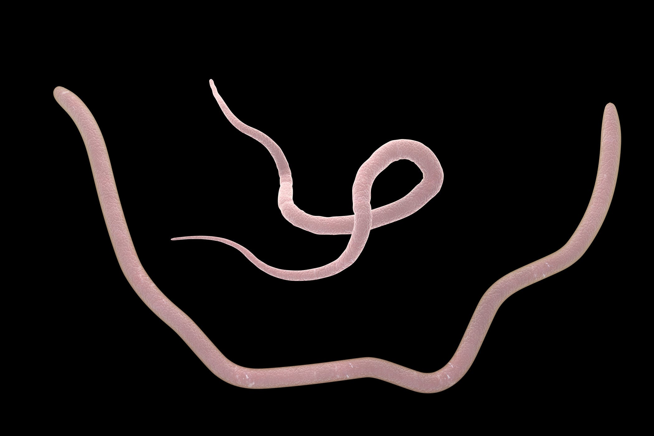 Roundworms in Horses - Symptoms, Causes, Diagnosis