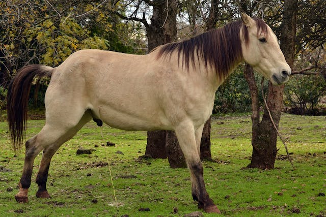 Ruptured Bladder in Horses - Symptoms, Causes, Diagnosis, Treatment, Recovery, Management, Cost