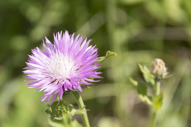Russian Knapweed Poisoning in Horses - Symptoms, Causes, Diagnosis, Treatment, Recovery, Management, Cost