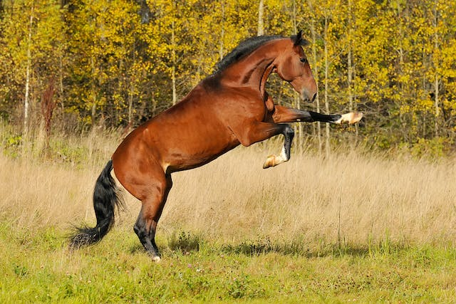 Sacroiliac Joint Abnormalities in Horses - Symptoms, Causes, Diagnosis, Treatment, Recovery, Management, Cost
