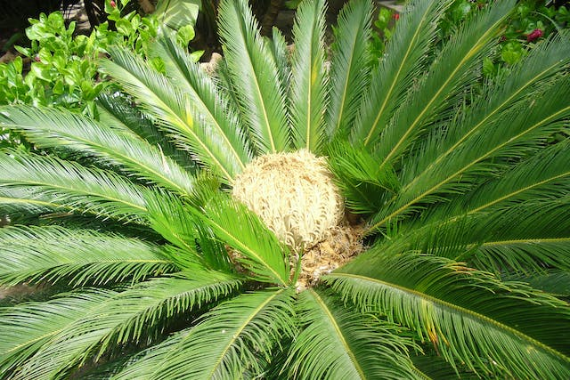 Sago Palm Poisoning in Horses - Symptoms, Causes, Diagnosis, Treatment, Recovery, Management, Cost