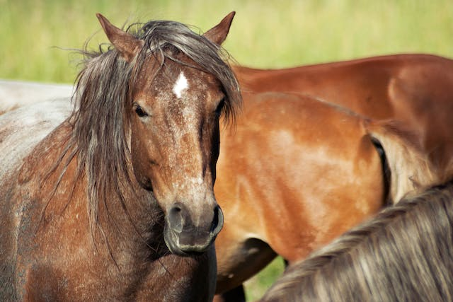 Sarcocystosis in Horses - Symptoms, Causes, Diagnosis, Treatment, Recovery, Management, Cost