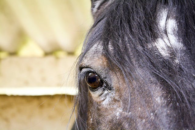 Sarcoptic Mange in Horses - Symptoms, Causes, Diagnosis, Treatment, Recovery, Management, Cost