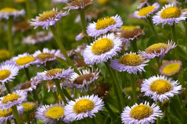 Seaside Daisy Poisoning in Horses - Symptoms, Causes, Diagnosis, Treatment, Recovery, Management, Cost