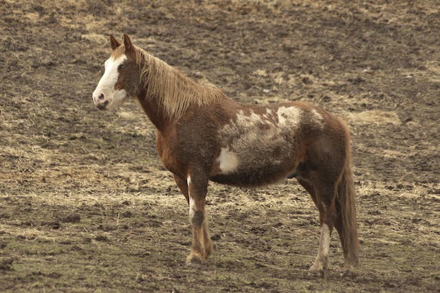 Seasonal Recurrent Dermatitis in Horses - Symptoms, Causes, Diagnosis, Treatment, Recovery, Management, Cost