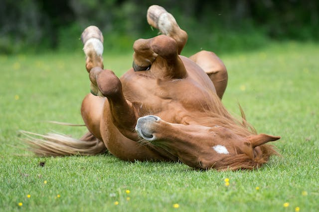 Seizures in Horses - Symptoms, Causes, Diagnosis, Treatment, Recovery, Management, Cost