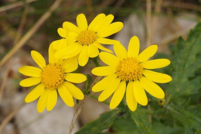 Senecio Poisoning in Horses - Symptoms, Causes, Diagnosis, Treatment, Recovery, Management, Cost