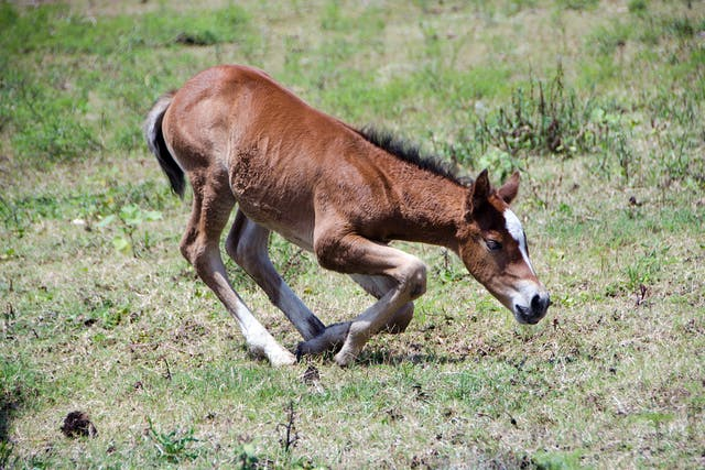 Septic Arthritis (Foals) in Horses - Symptoms, Causes, Diagnosis, Treatment, Recovery, Management, Cost