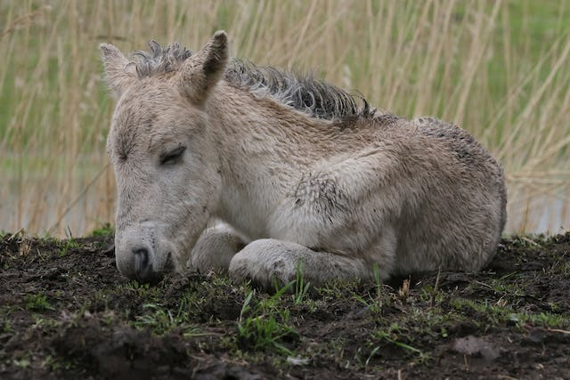 Septicemia (Foals) in Horses - Symptoms, Causes, Diagnosis, Treatment, Recovery, Management, Cost