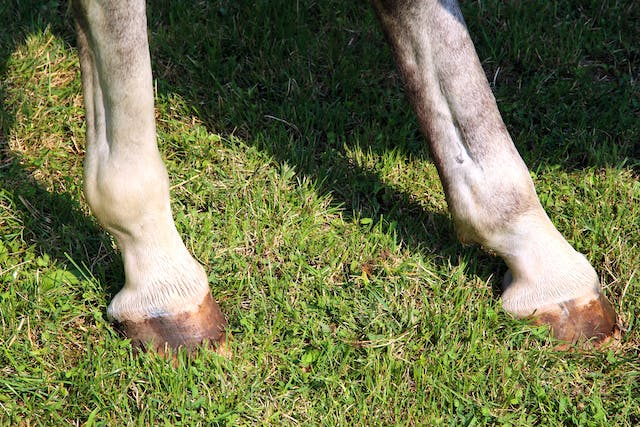 Sesamoiditis in Horses - Symptoms, Causes, Diagnosis, Treatment, Recovery, Management, Cost