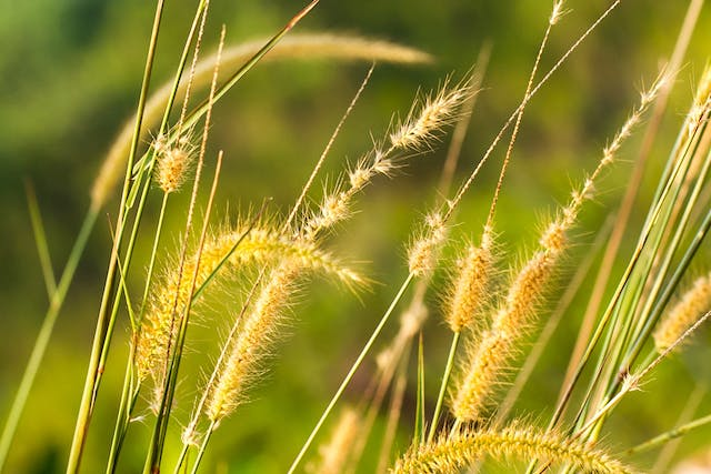 Setaria Poisoning in Horses - Symptoms, Causes, Diagnosis, Treatment, Recovery, Management, Cost