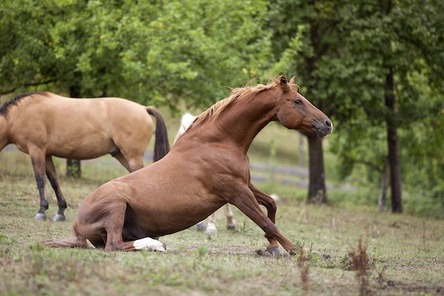 Sidebone in Horses - Symptoms, Causes, Diagnosis, Treatment, Recovery, Management, Cost