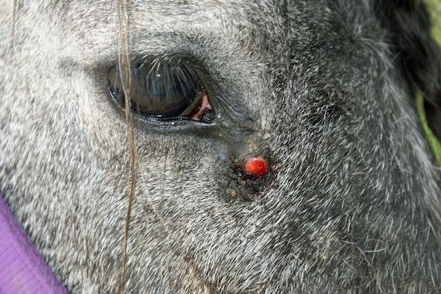 Skin Tumors (Equine Sarcoid) in Horses - Symptoms, Causes, Diagnosis, Treatment, Recovery, Management, Cost