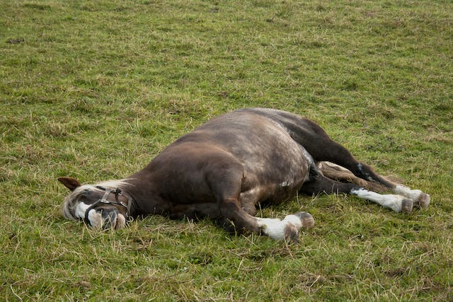 Sleep Deprivation in Horses - Symptoms, Causes, Diagnosis, Treatment, Recovery, Management, Cost
