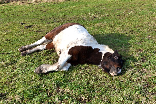 Sleeping Sickness in Horses - Symptoms, Causes, Diagnosis, Treatment, Recovery, Management, Cost