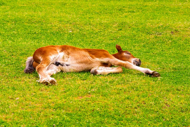 Small Airway Inflammatory Disease in Horses - Symptoms, Causes, Diagnosis, Treatment, Recovery, Management, Cost