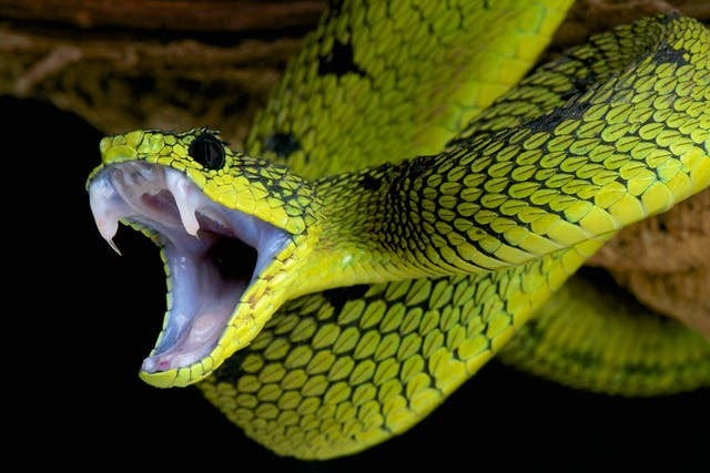 Snake Bite in Horses - Symptoms, Causes, Diagnosis, Treatment, Recovery, Management, Cost